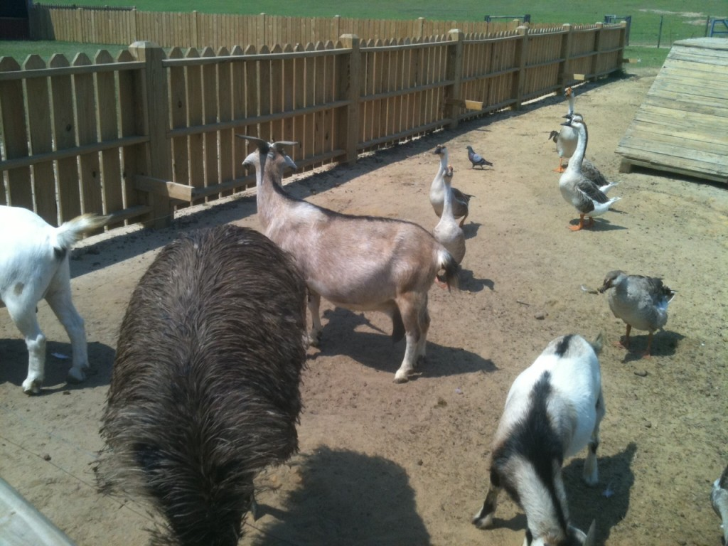 Goats and ducks at the Chevron petting zoo